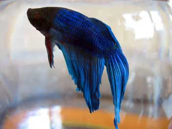 What kind of food do beta fish eat yahoo answers for Good betta fish names